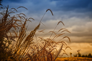 Картинка Wheat Field Agricultural Wallpaper на Gigabyte GSmart