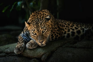 Картинка Leopard in Night HD для телефона и на рабочий стол 1600x900