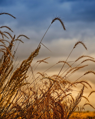 Обои Wheat Field Agricultural Wallpaper на 240x320