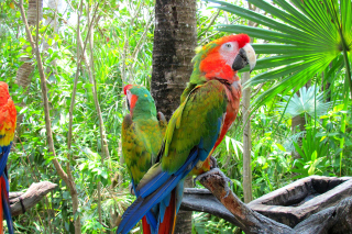 Обои Macaw parrot Amazon forest на Huawei G525