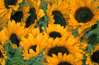Обои Sunflowers для телефона и на рабочий стол Widescreen Desktop PC 1680x1050