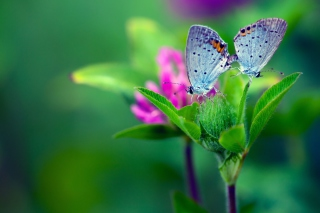 Обои Blue Butterflies On Green Leaves для андроид