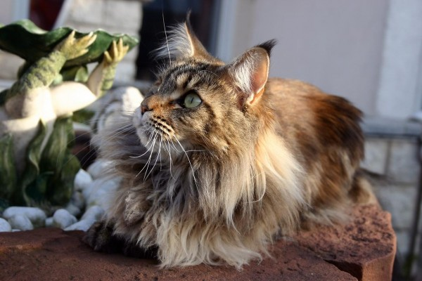 maine_coon_wallpapers_1