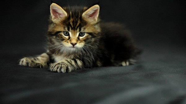 maine_coon_wallpapers_11