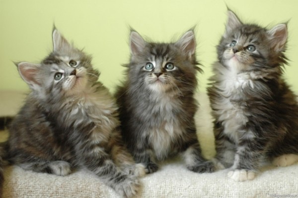 maine_coon_wallpapers_14