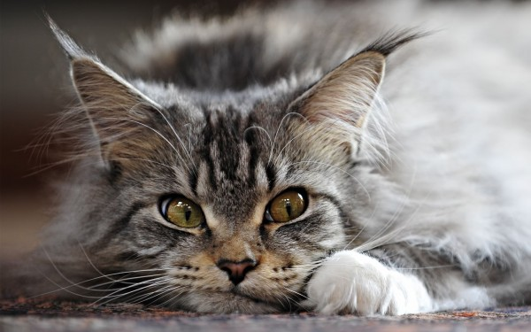 maine_coon_wallpapers_17