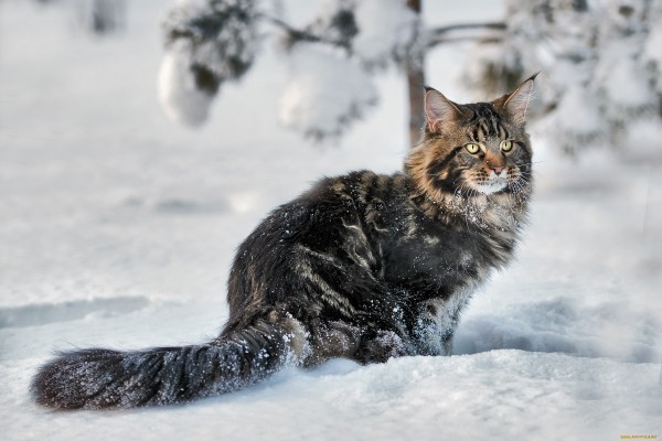 maine_coon_wallpapers_2