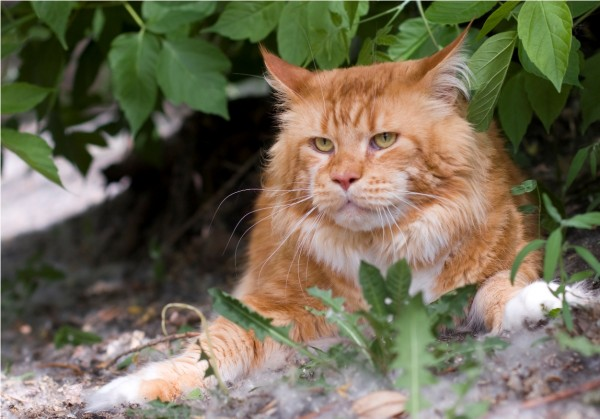 maine_coon_wallpapers_23