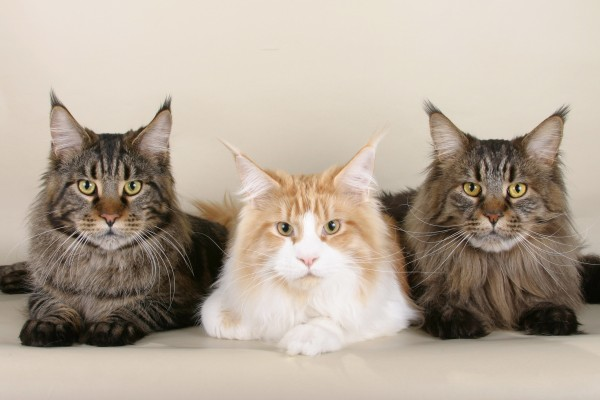 maine_coon_wallpapers_26
