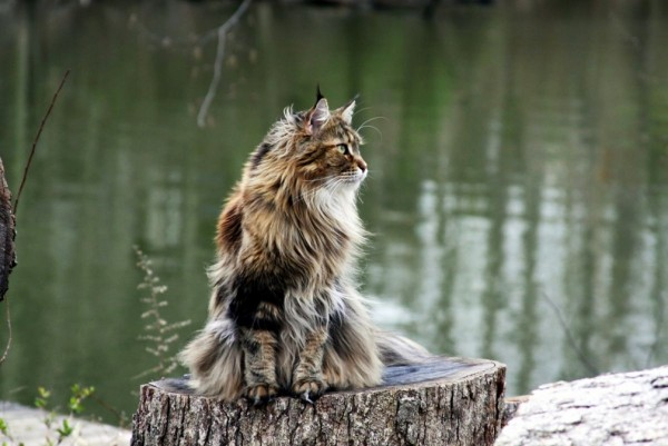 maine_coon_wallpapers_4