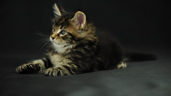 maine_coon_wallpapers_8