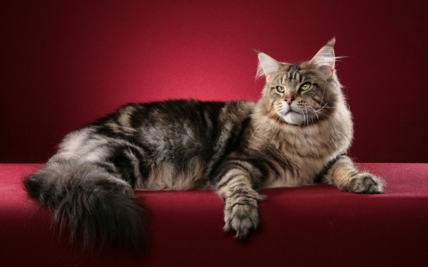 maine_coon_wallpapers_9
