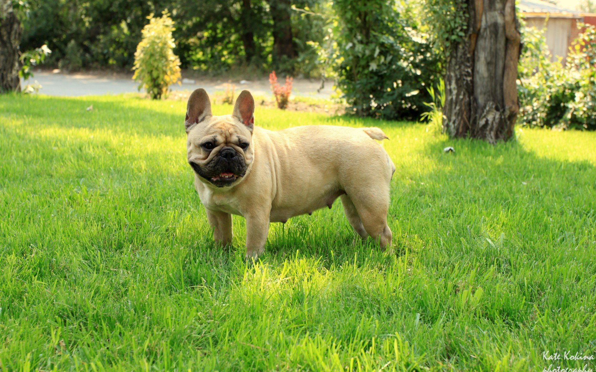 французский бульдог, трава, French Bulldog, девочка